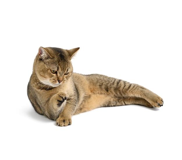 Dorosły szary szkocki kot szynszylowy prosty leży na białej izolowanej powierzchni, zwierzę odpoczywa