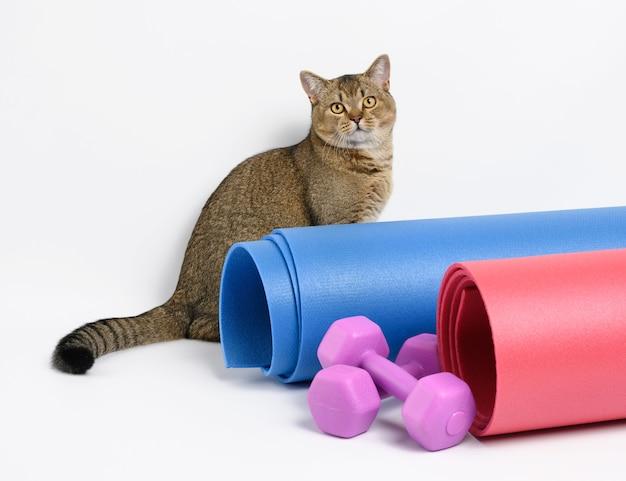 Dorosły szary szkocki kot szynszylowy prosty leży na białej powierzchni, obok hantli do sprzętu sportowego i mat do jogi