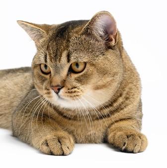 Dorosły szary szkocki kot szynszylowy prosty leży na białej powierzchni, zwierzę odpoczywa i patrzy
