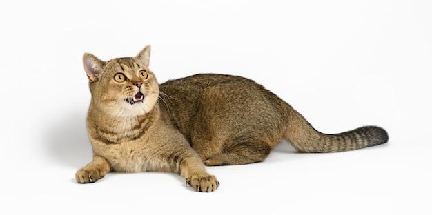 Dorosły szary szkocki kot szynszylowy prosty leży na białej powierzchni, zwierzę odpoczywa, kot otworzył usta i patrzy w górę