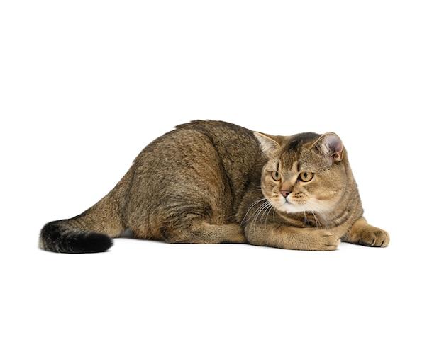 Dorosły szary szkocki kot szynszylowy prosty leży na białym tle, zwierzę odpoczywa