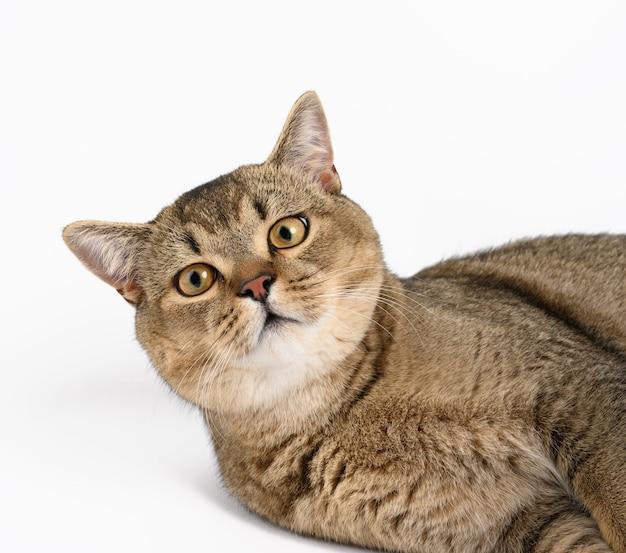 Dorosły szary szkocki kot szynszylowy prosty leży na białym tle, zwierzę patrzy w kamerę i odpoczywa