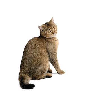 Dorosły szary szkocki prosty kot siedzi na białej izolowanej powierzchni, patrz z boku