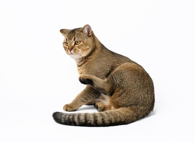 Dorosły szary szkocki prosty kot siedzi na białej powierzchni, patrz z boku