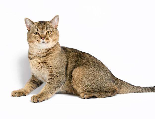 Dorosły szary szkocki prosty kot szynszylowy leży na białej powierzchni, zwierzę patrzy w kamerę i odpoczywa
