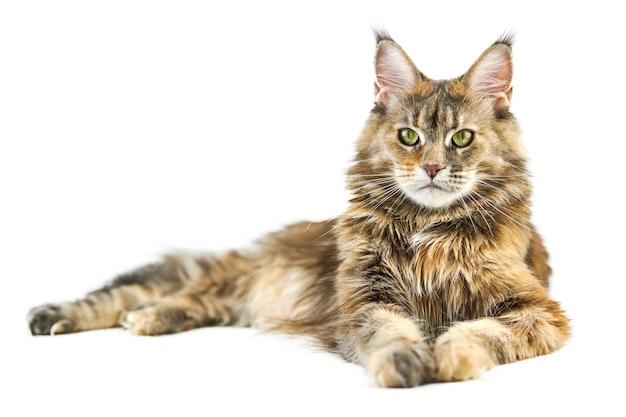 Dorosły uroczy kot maine coon