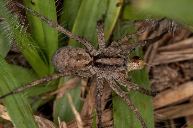 Dorosły wilczy pająk z rodziny lycosidae polujący na nimfę konika polnego z rodziny acrididae