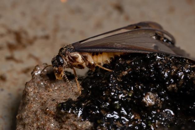 Dorosły wyższy termit z rodziny termitidae