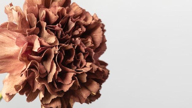 Dość kwitło kwiat z bliska