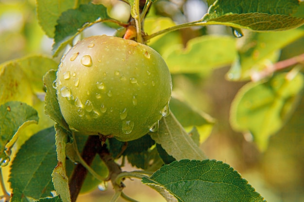 Doskonałe zielone jabłko rosnące na drzewie w ekologicznym sadzie jabłkowym