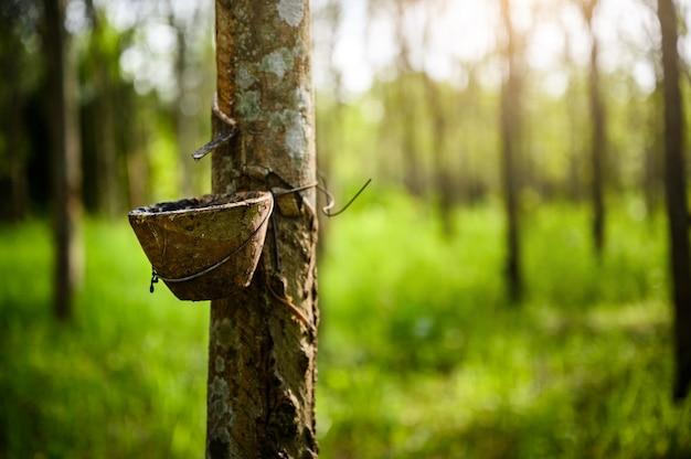 Dotykanie drzewa kauczukowego, lateks kauczukowy pozyskiwany z drzewa kauczukowego, żniwa w tajlandii.