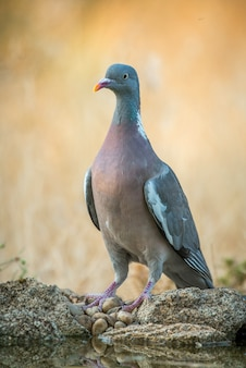 Dove columba palumbus