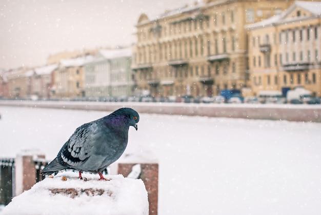 Dove siedzi na parapecie nasypu zimą podczas opadów śniegu na tle starego miasta.