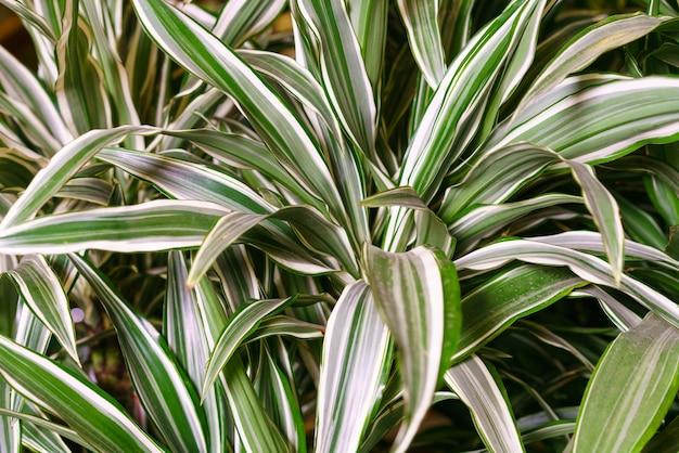 Dracaena deremensis liście z bliska zbliżenie zielone z białymi liśćmi roślina dracena lub dracena...