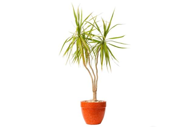Dracaena marginata lub smocze drzewo w doniczce na białym tle.