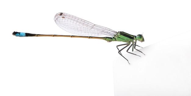 Dragonfly, coenagrionidae odizolowywał