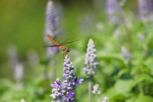 Dragonfly na kwitnąć kwitnie purpury w naturze