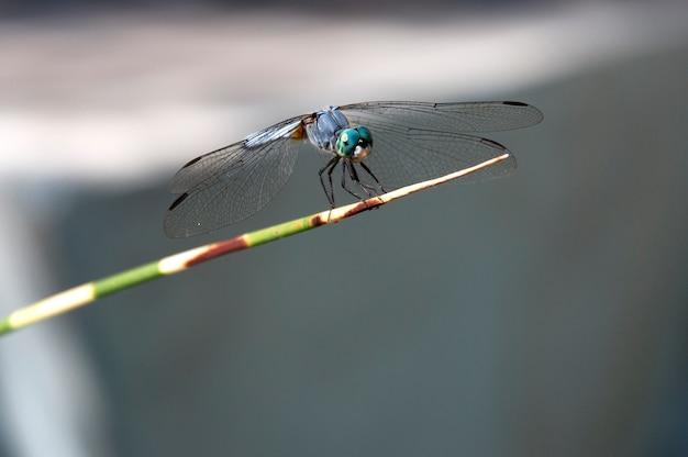 Dragonfly na roślinie z bliska