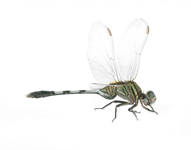 Dragonfly odizolowywający na białym tle