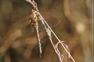Dragonfly, rośliny, zbliżenie