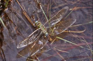 Dragonfly, rośliny