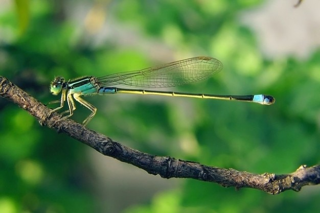 Dragonfly senegal pechlibelle senegalensis ischnura