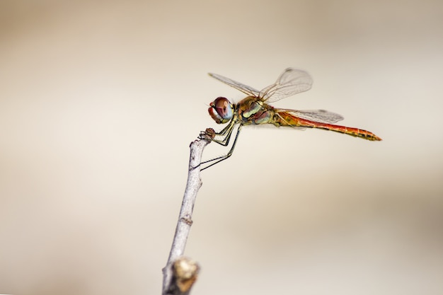 Dragonfly siedzi na łodydze z bliska