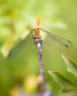 Dragonfly, zbliżenie
