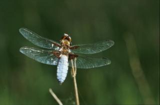 Dragonfly, zielony