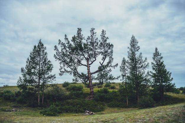 Dramatyczna sceneria z kilkoma pięknymi drzewami na zielonym wzgórzu na tle błękitnego pochmurnego nieba. malowniczy krajobraz przyrody z cedrem i modrzewiem w pochmurną pogodę. grupa drzew iglastych o nietypowym kształcie