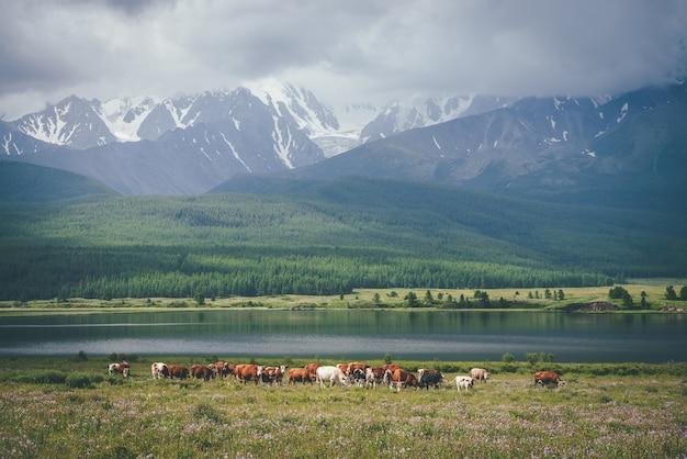 Dramatyczny alpejski krajobraz ze stadem krów na łące w pobliżu górskiego jeziora w świetle słonecznym przed dużymi ośnieżonymi górami w niskich chmurach. krowy w pobliżu jeziora w słońcu i duże ośnieżone góry w szare pochmurne niebo.