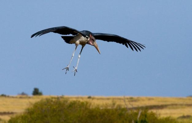 Drapieżny ptak leci na polowanie kenii tanzania safari wschodniej afryki