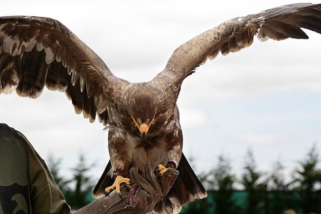 Drapieżny ptak z otwartymi skrzydłami w rękach sokolnika