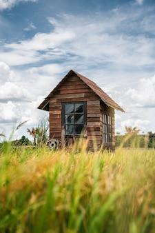 Drewniana chata i błękitne niebo na polu ryżu niełuskanego na wsi