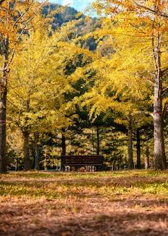 Drewniana ławka z żółtymi ginkgo drzewami na jesień lesie
