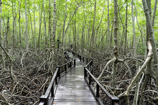 Drewniana ścieżka w namorzynowych lasach tropikalnych