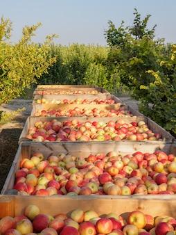 Drewniane skrzynie pełne dojrzałych jabłek podczas rocznego okresu zbiorów