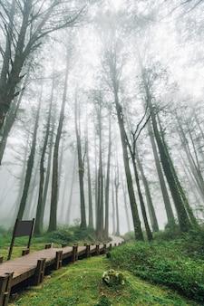 Drewniany chodnik prowadzący do drzew cedrowych w lesie z mgłą w alishan.