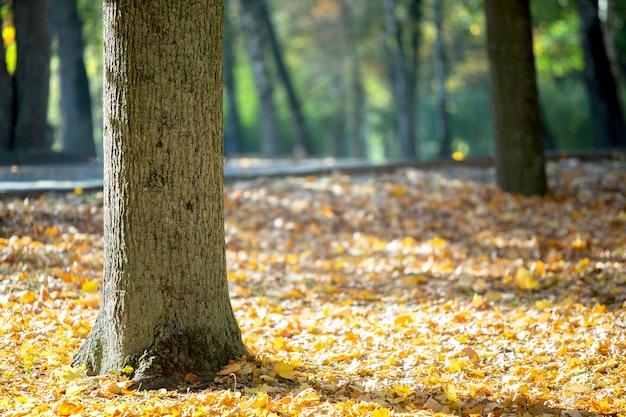 Drewniany pień dużego drzewa z opadłymi żółtymi liśćmi