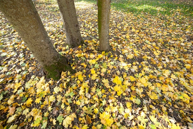 Drewniany pień wielkiego drzewa z opadłych żółtych liści w jesiennym parku.