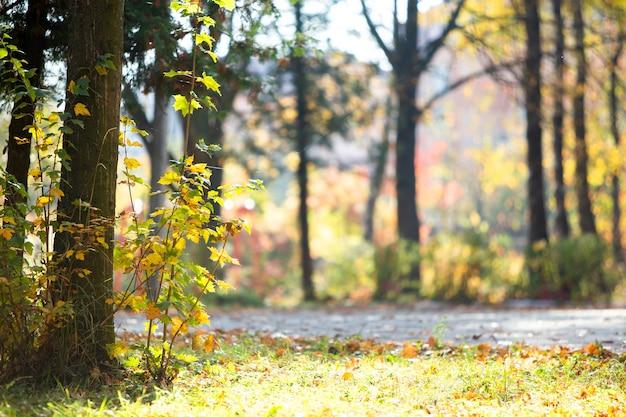 Drewniany pień wielkiego drzewa z opadłymi żółtymi liśćmi w jesiennym parku.
