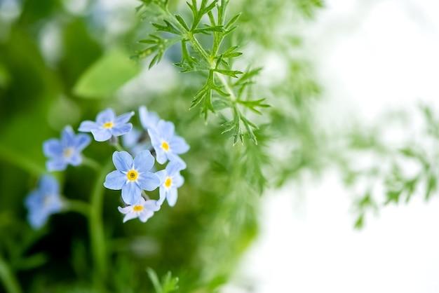 Drobne niebieskie kwiaty niezapominajki myosotis sylvatica na zielonych liściach zamazana powierzchnia