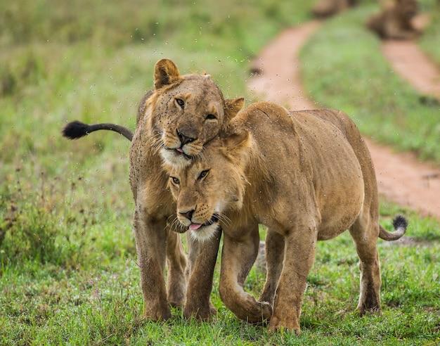 Drogą idą dwie lwice.