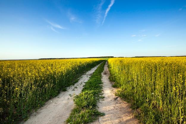 Droga, która przechodzi przez pole, na którym rośnie rzepak