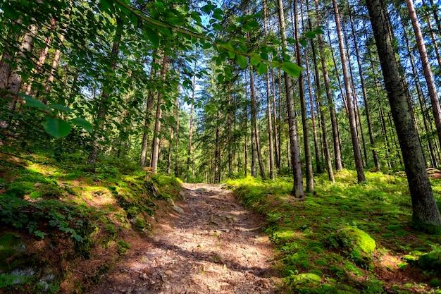 Droga leśna, w słoneczny letni dzień, wjeżdżająca w górę, otoczona drzewami