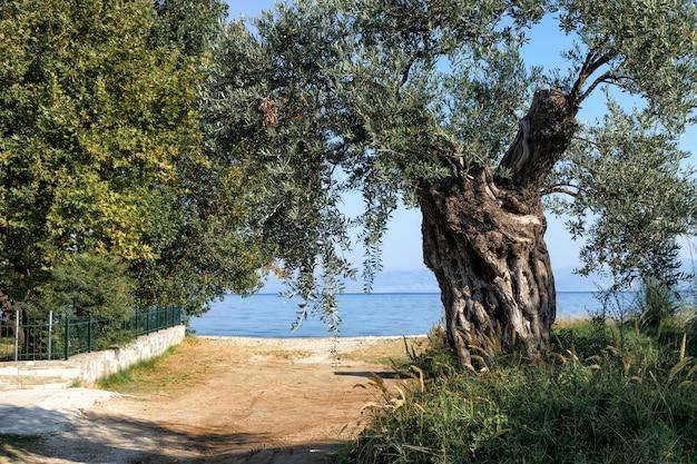 Droga na plażę bardzo stare drzewo oliwne rosnące na plaży wyspa thassos grecja wakacje