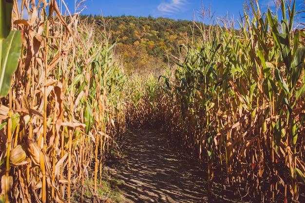 Droga pośrodku pola trzciny cukrowej w słoneczny dzień z górą z tyłu