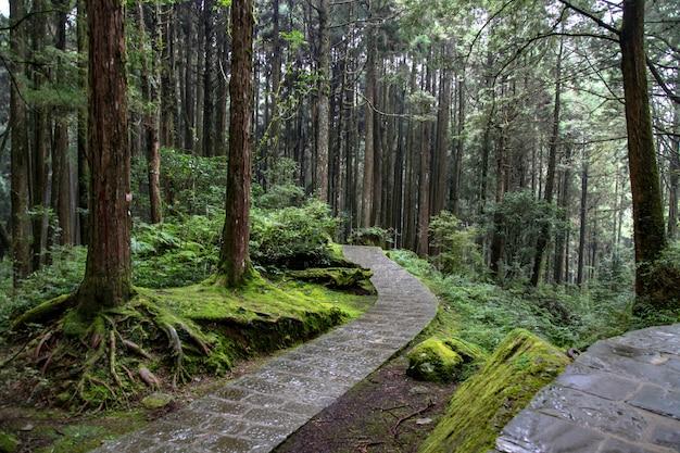 Droga spacerowa w parku narodowym alishan na tajwanie.