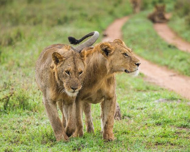 Drogą spacerują dwie lwice.