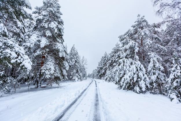 Droga w zimowym lesie z wysokimi sosnami, ośnieżonymi drzewami. zimowy bajkowy las pokryty śniegiem